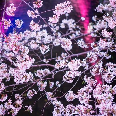 「川に反射した提灯と満開の夜桜」の写真素材