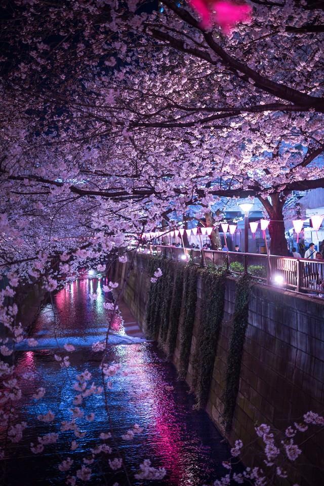 人で賑わう目黒川の夜桜の写真