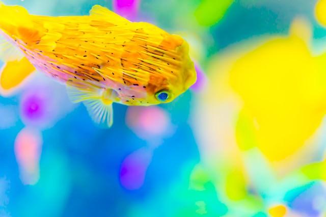 ハリセンボンとサンゴ礁の写真