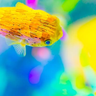 「ハリセンボンとサンゴ礁」の写真素材