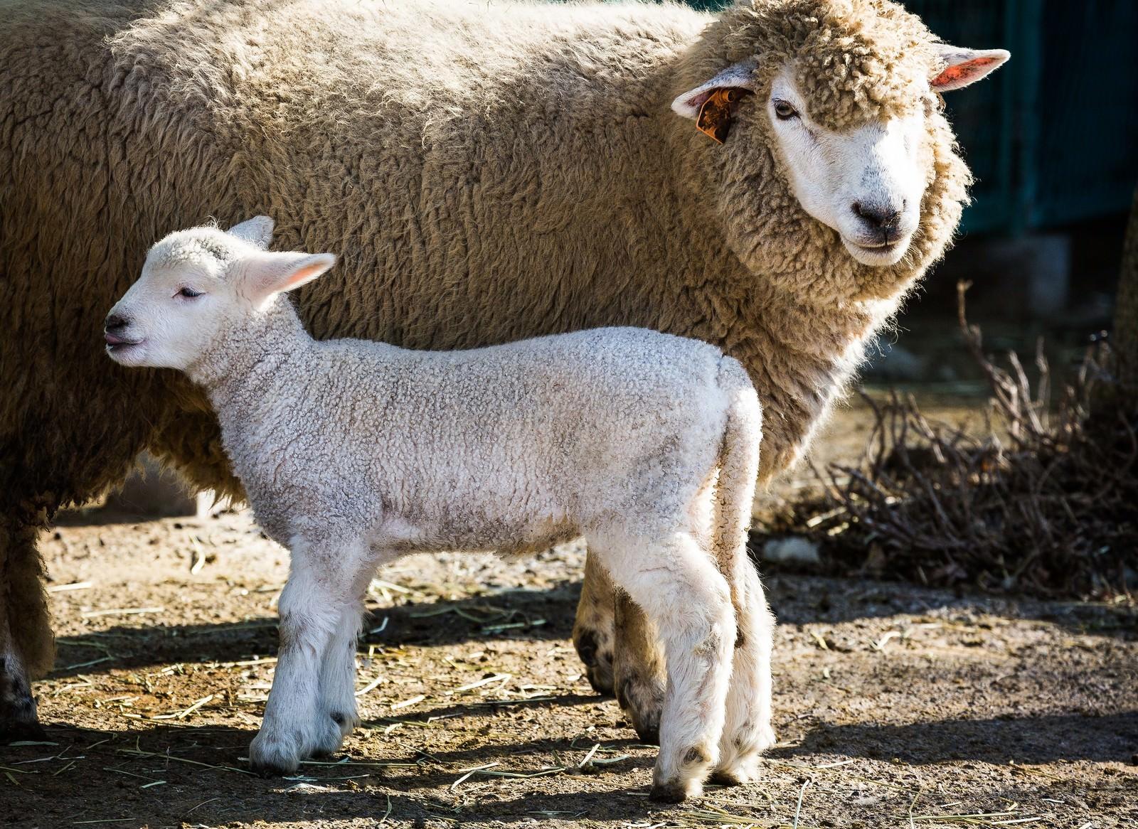 「もこもこの親羊と子羊」の写真