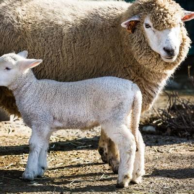 もこもこの親羊と子羊の写真