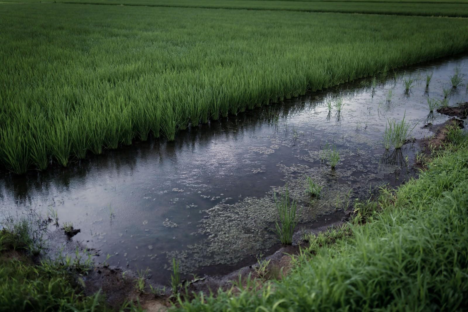 「小雨が降る夏の田んぼ小雨が降る夏の田んぼ」のフリー写真素材を拡大