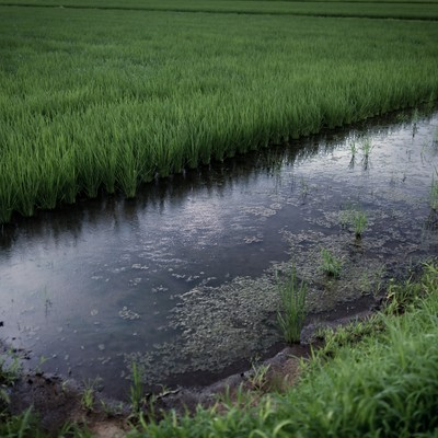 「小雨が降る夏の田んぼ」の写真素材
