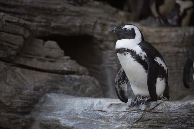 居眠りペンギンの写真