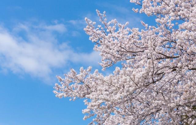 空に伸びる桜の写真