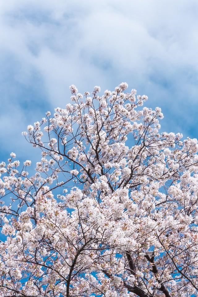 見上げた桜と青空の写真