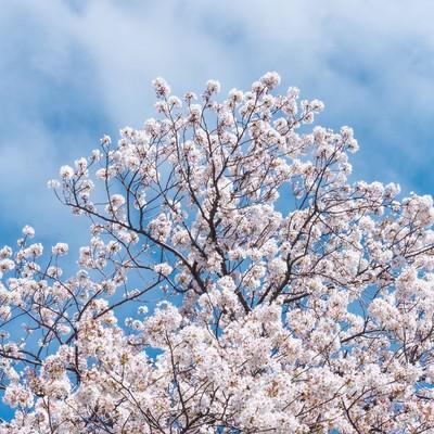 「見上げた桜と青空」の写真素材