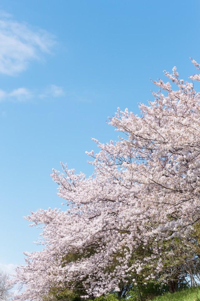 河川敷に咲く桜の写真