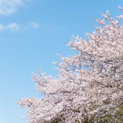 「河川敷に咲く桜」の写真素材
