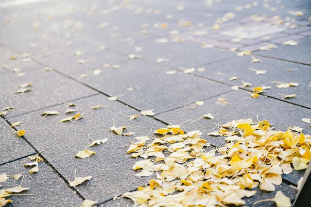 路上の落ち葉(銀杏)の写真