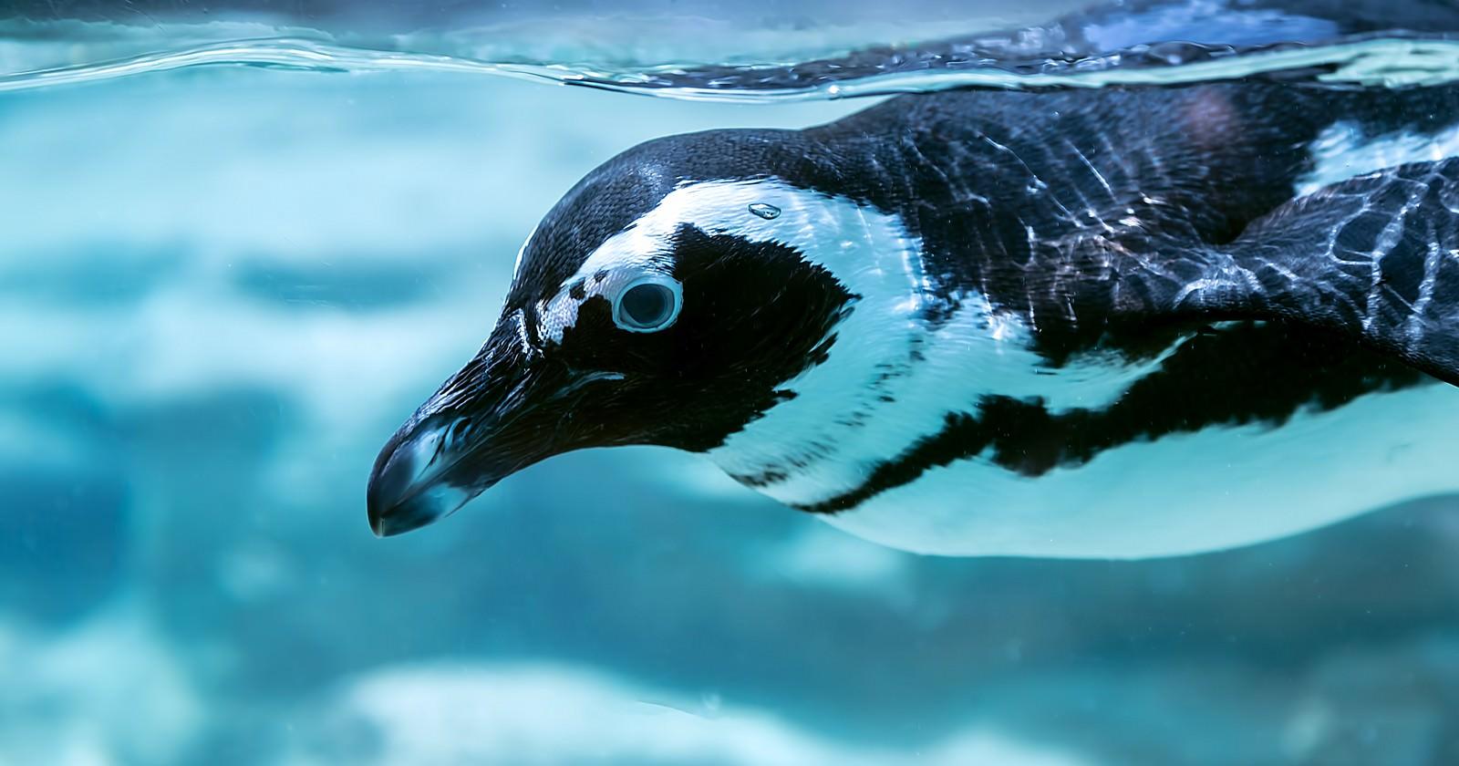 「泳ぐペンギン」の写真