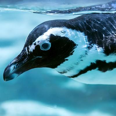 泳ぐペンギンの写真