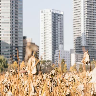枯れた蓮とビル群(上野不忍池)の写真