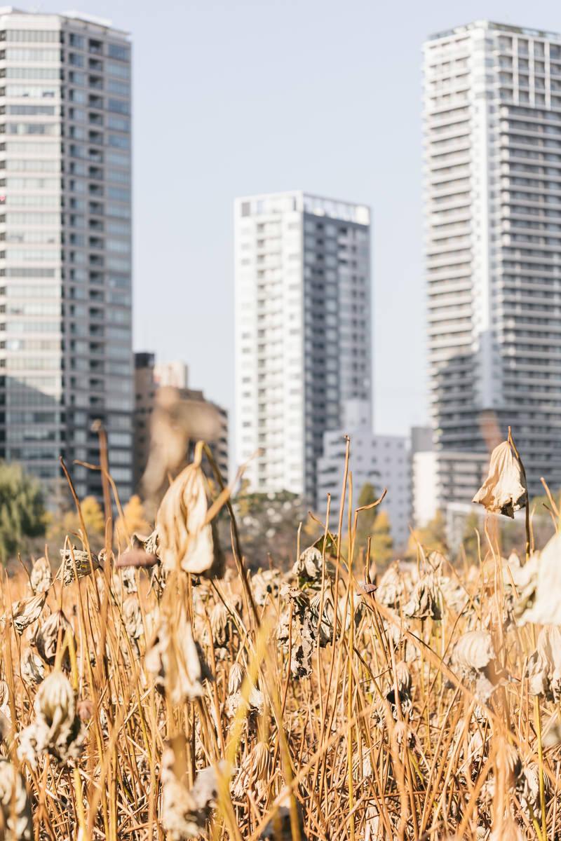 「枯れた蓮とビル群(上野不忍池)」の写真