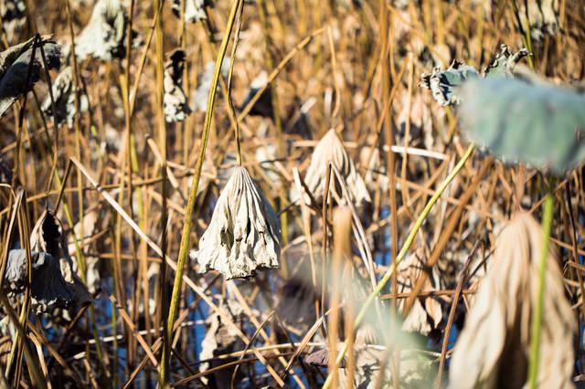 上野の不忍池の冬の写真