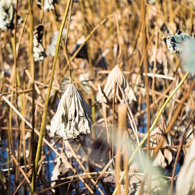 「上野の不忍池の冬」の写真素材