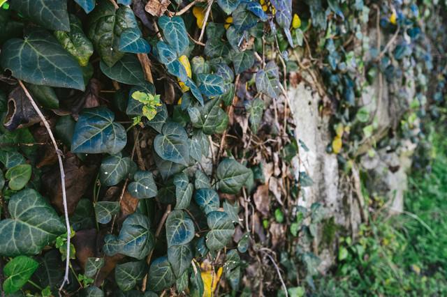 壁をおおいつくす蔦の写真