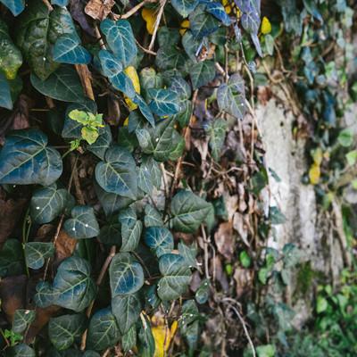 「壁をおおいつくす蔦」の写真素材