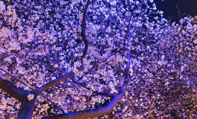 ライトアップした夜桜の写真