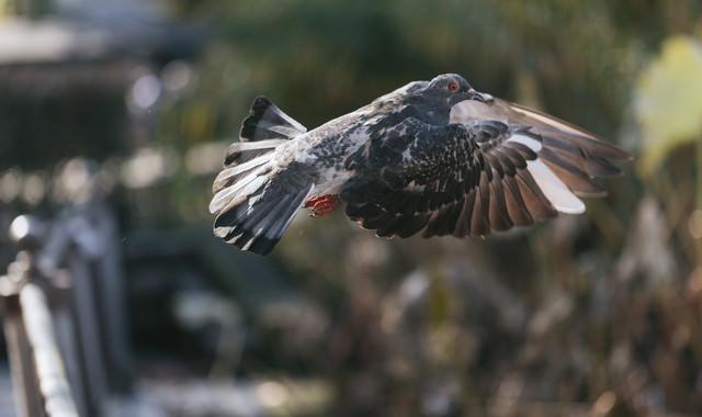 飛び立つ鳩の写真