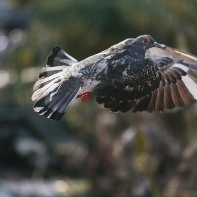 「飛び立つ鳩」の写真素材