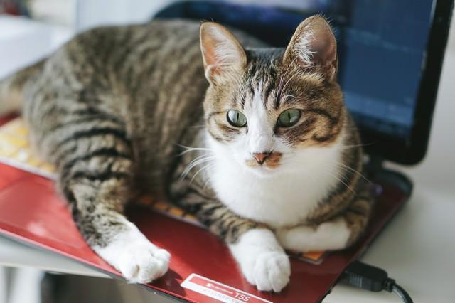 温かいノートパソコン上から断固として退けないキジ白猫の写真