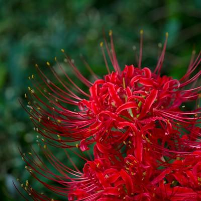 「日陰に咲く彼岸花」の写真素材