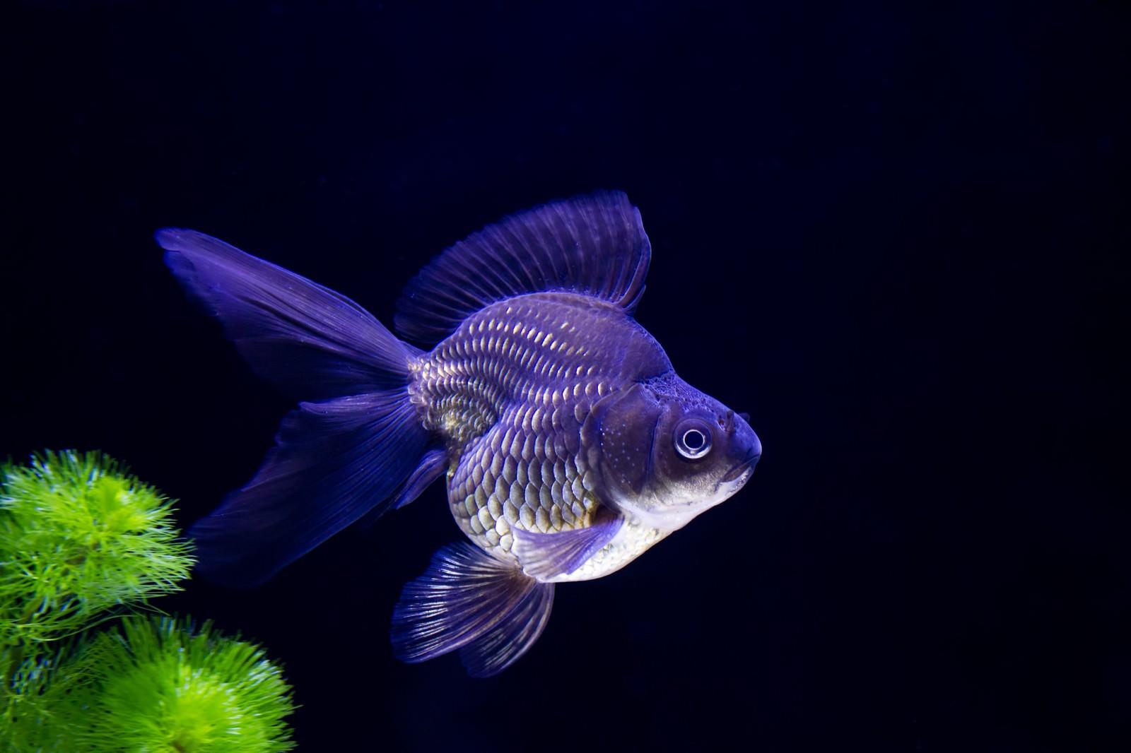 「黒琉金の金魚」の写真