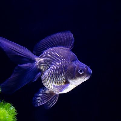 黒琉金の金魚の写真