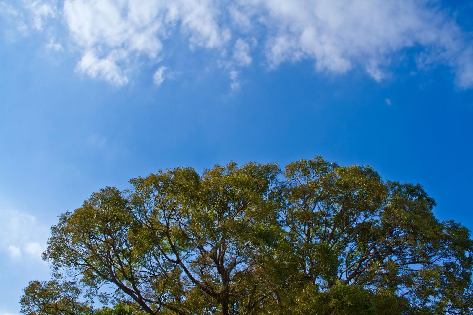「よく晴れた青空と大樹 | 写真の無料素材・フリー素材 - ぱくたそ」の写真