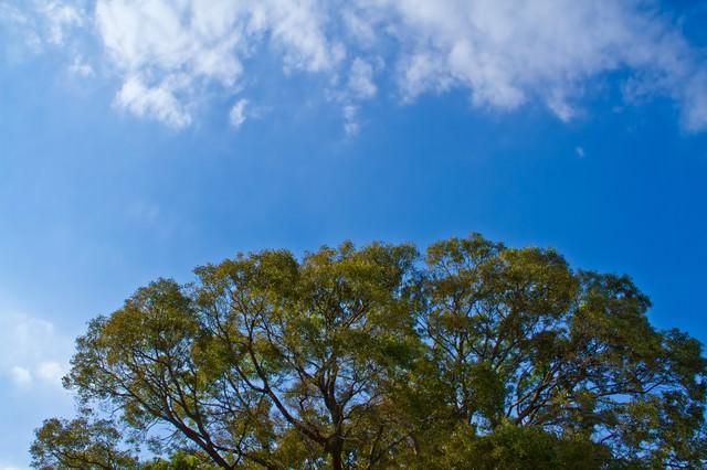 よく晴れた青空と大樹の写真