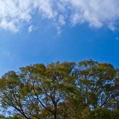 「よく晴れた青空と大樹」の写真素材