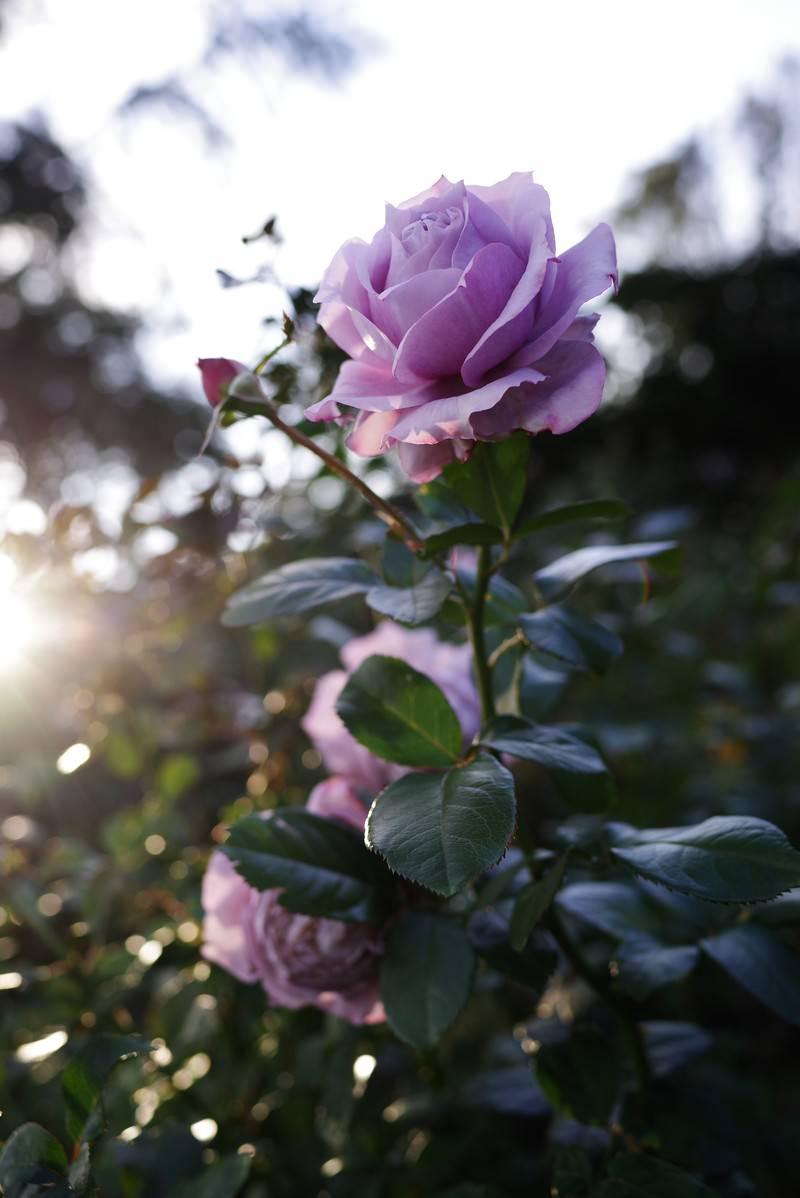 「エモい紫の薔薇」の写真
