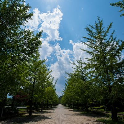 「真夏の日差しと並木」の写真素材