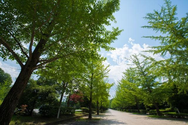 緑の銀杏並木の写真