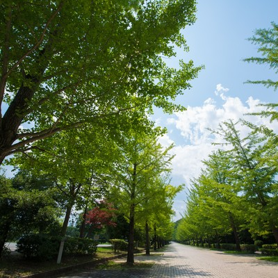 「緑の銀杏並木」の写真素材