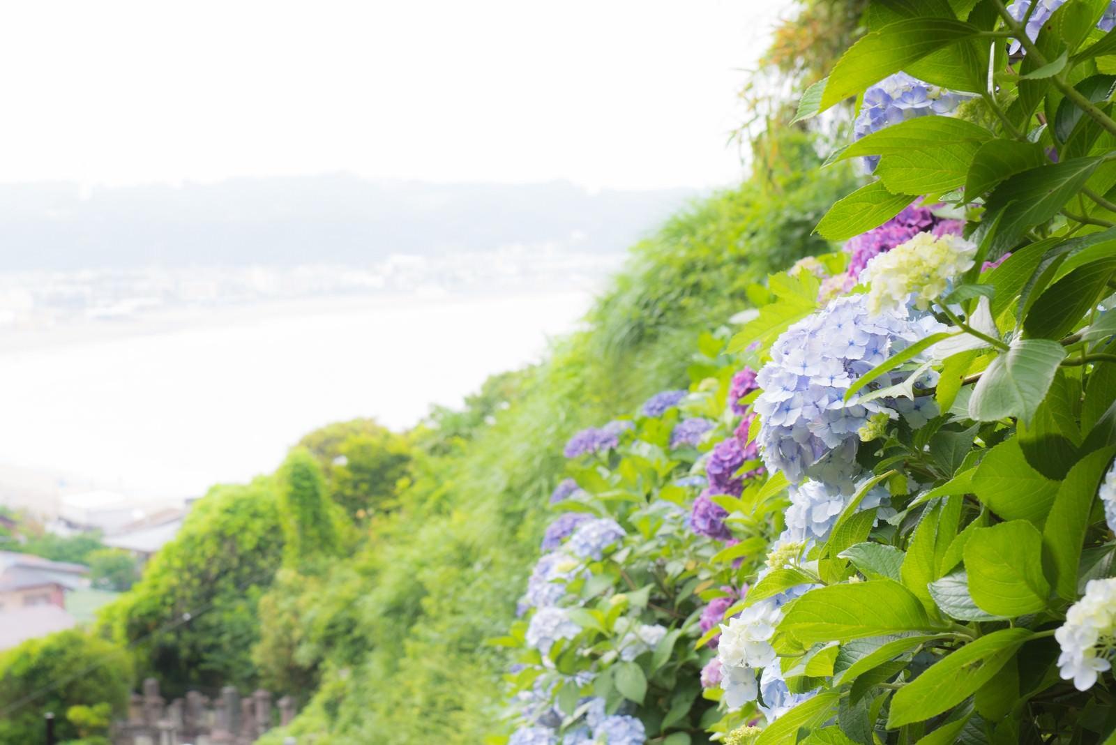 「山の上の紫陽花山の上の紫陽花」のフリー写真素材を拡大