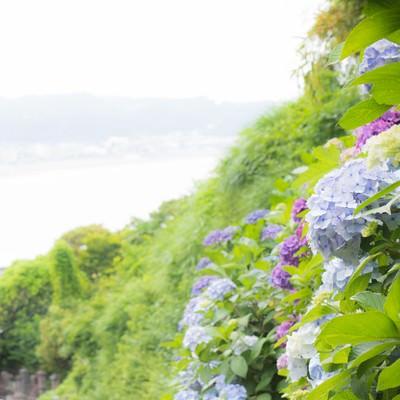 「山の上の紫陽花」の写真素材