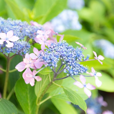 「ガクアジサイの花」の写真素材