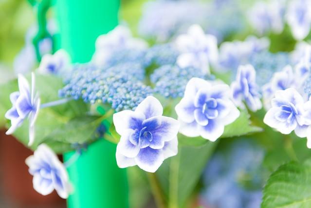 紫陽花が咲く季節