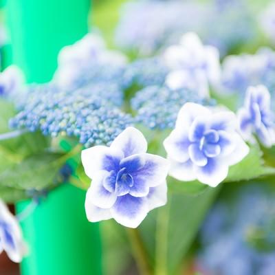 「紫陽花が咲く季節」の写真素材
