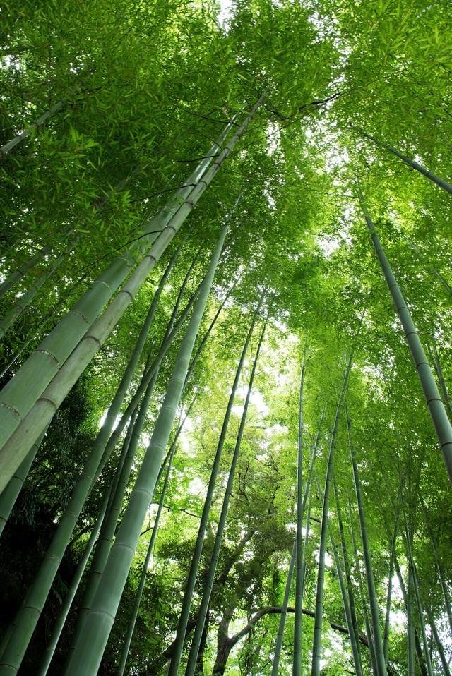 竹林を見上げるの写真