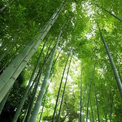 「竹林を見上げる」の写真素材