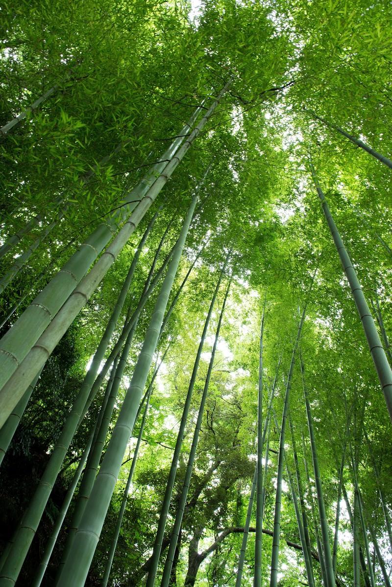 「竹林を見上げる」の写真