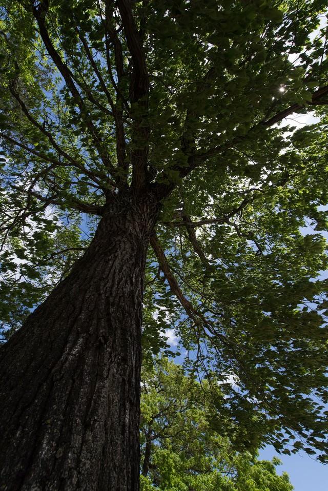 大木を見上げるの写真