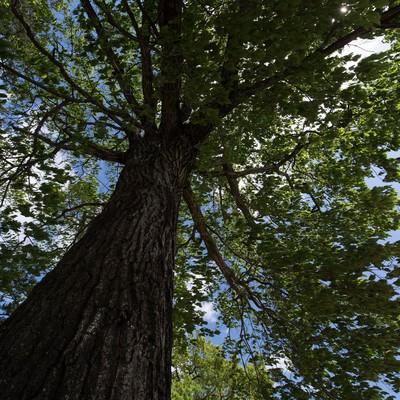 「大木を見上げる」の写真素材