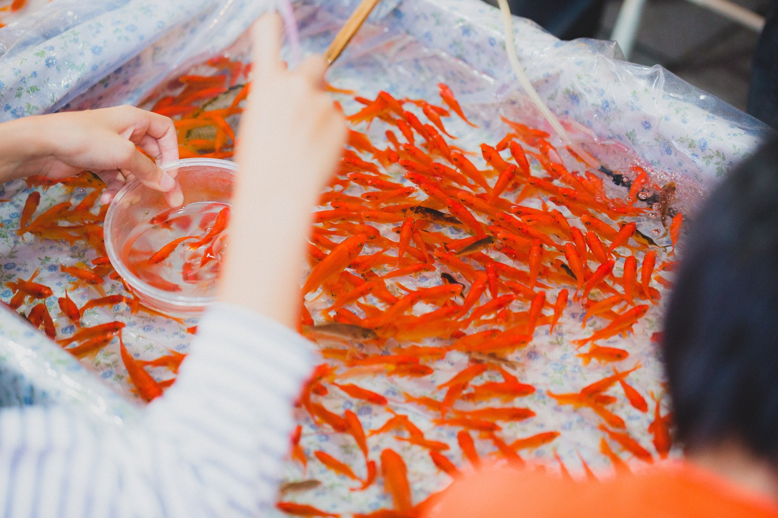 「夏祭りの金魚すくい」の写真