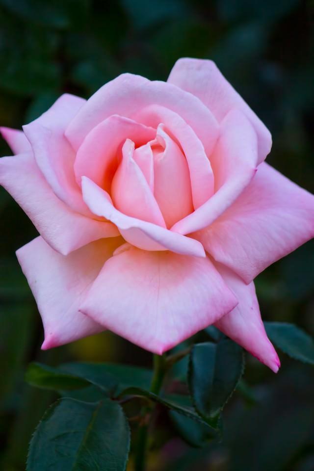 ピンクの薔薇(ニュージーランド)の写真