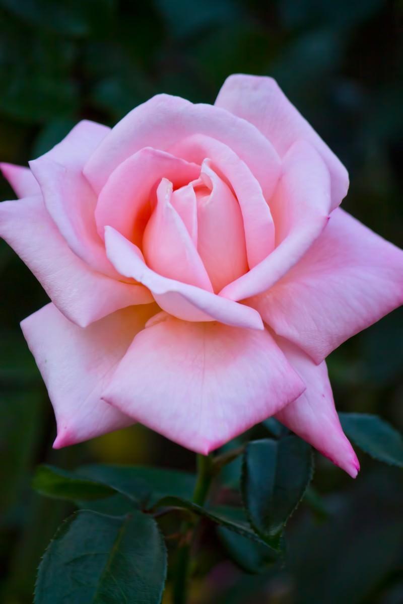 「ピンクの薔薇(ニュージーランド)」の写真